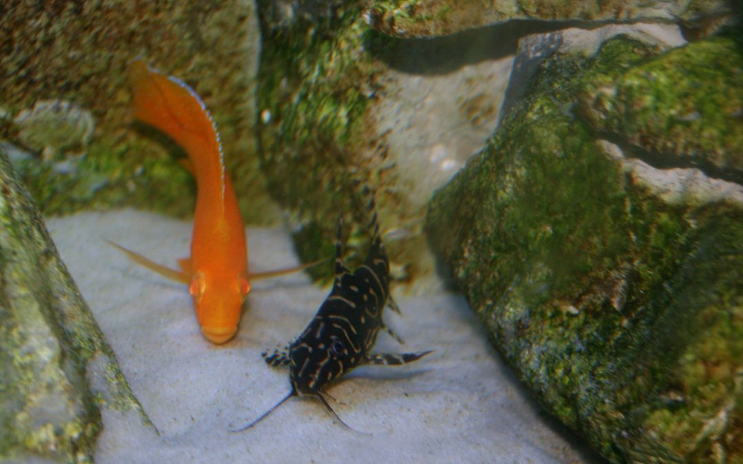 Synodontis Angelicus X Eupterus Hybrid